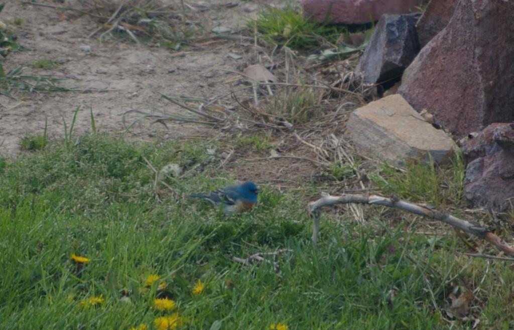 I Think I Saw a Lazuli Bunting