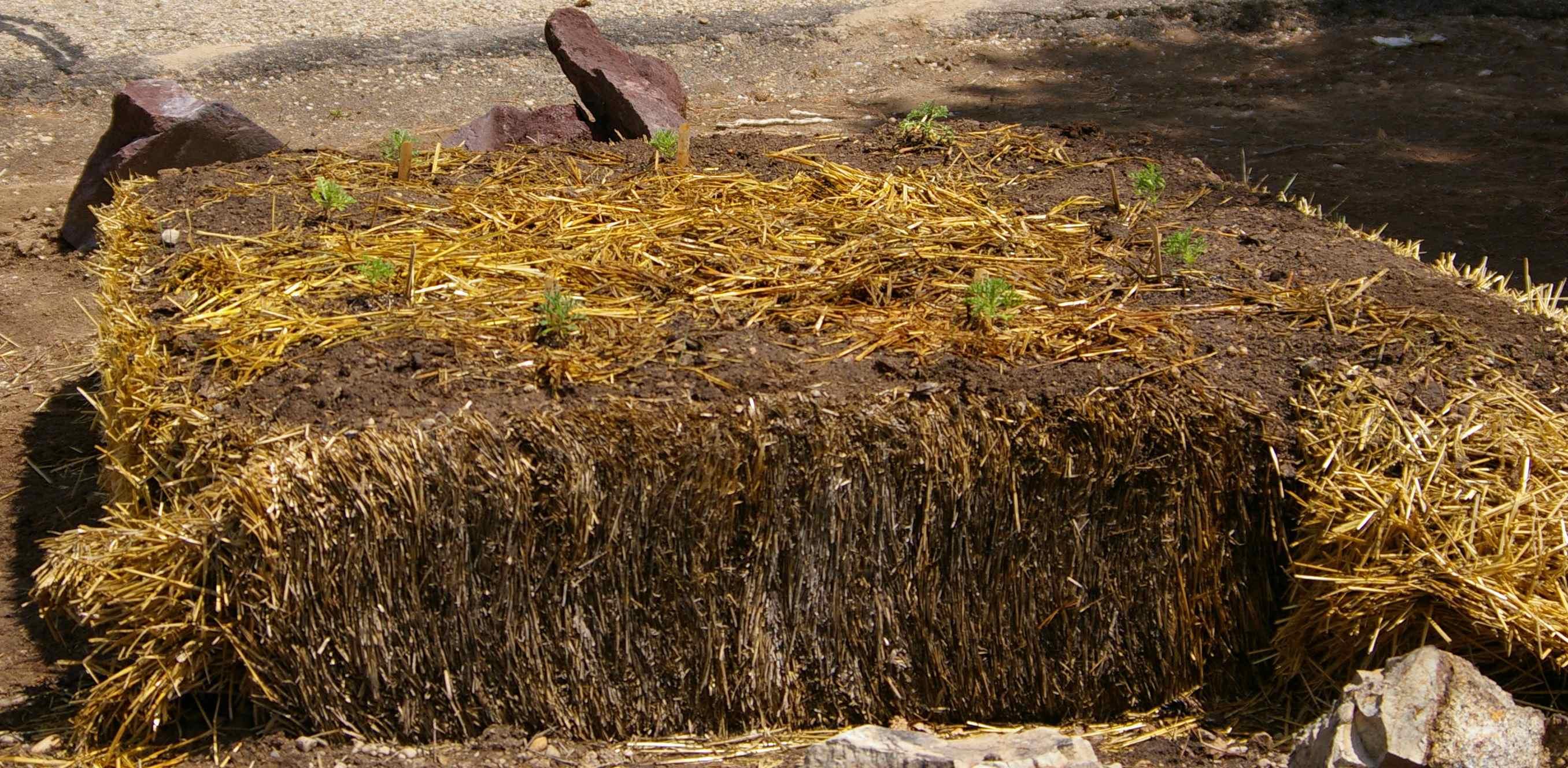 Transplanting into a Straw Bale Garden