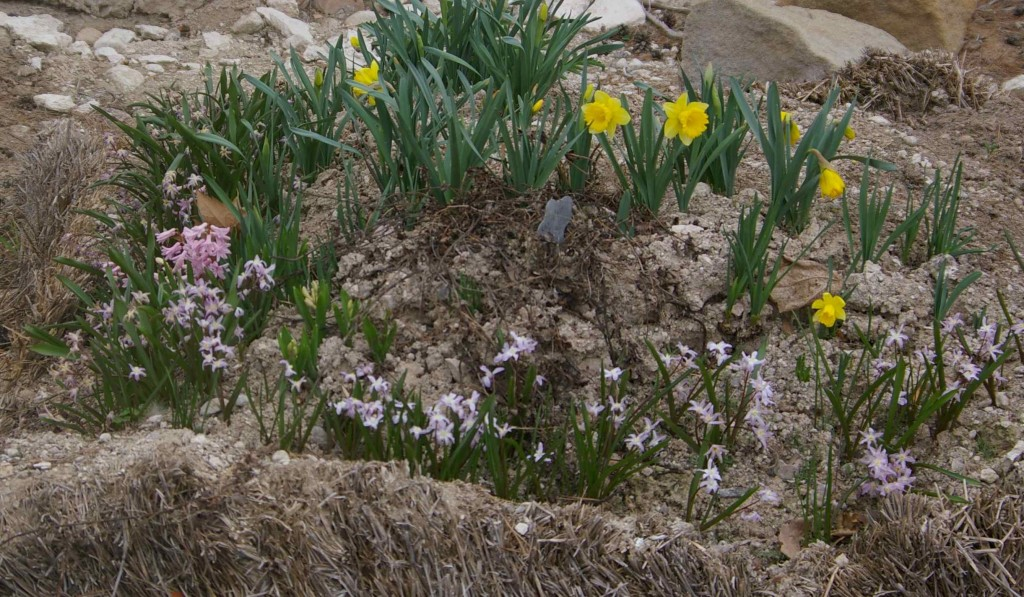 Blooms in Succession Throughout the Season Provide Therapy for the Old Straw Bale Garden