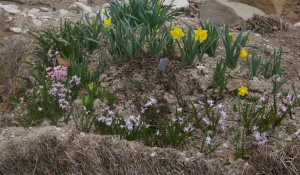aging straw bale garden with a few bulbs