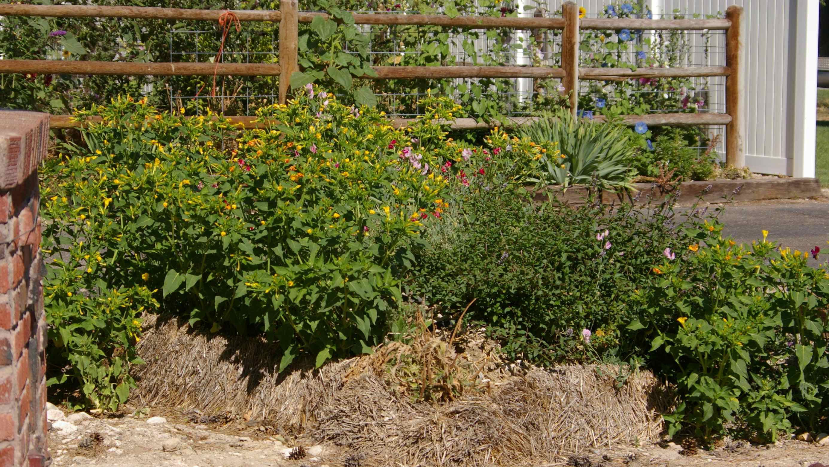 Aging Straw Bale Garden Mint On The Rise