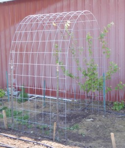 simple arched trellis for grape vine using ranch panel