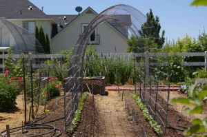 simple arched trellis with sprouted pole beans