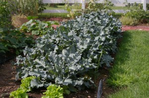 maintaining edible broccoli