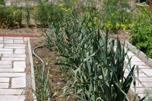 volunteer leek seedlings