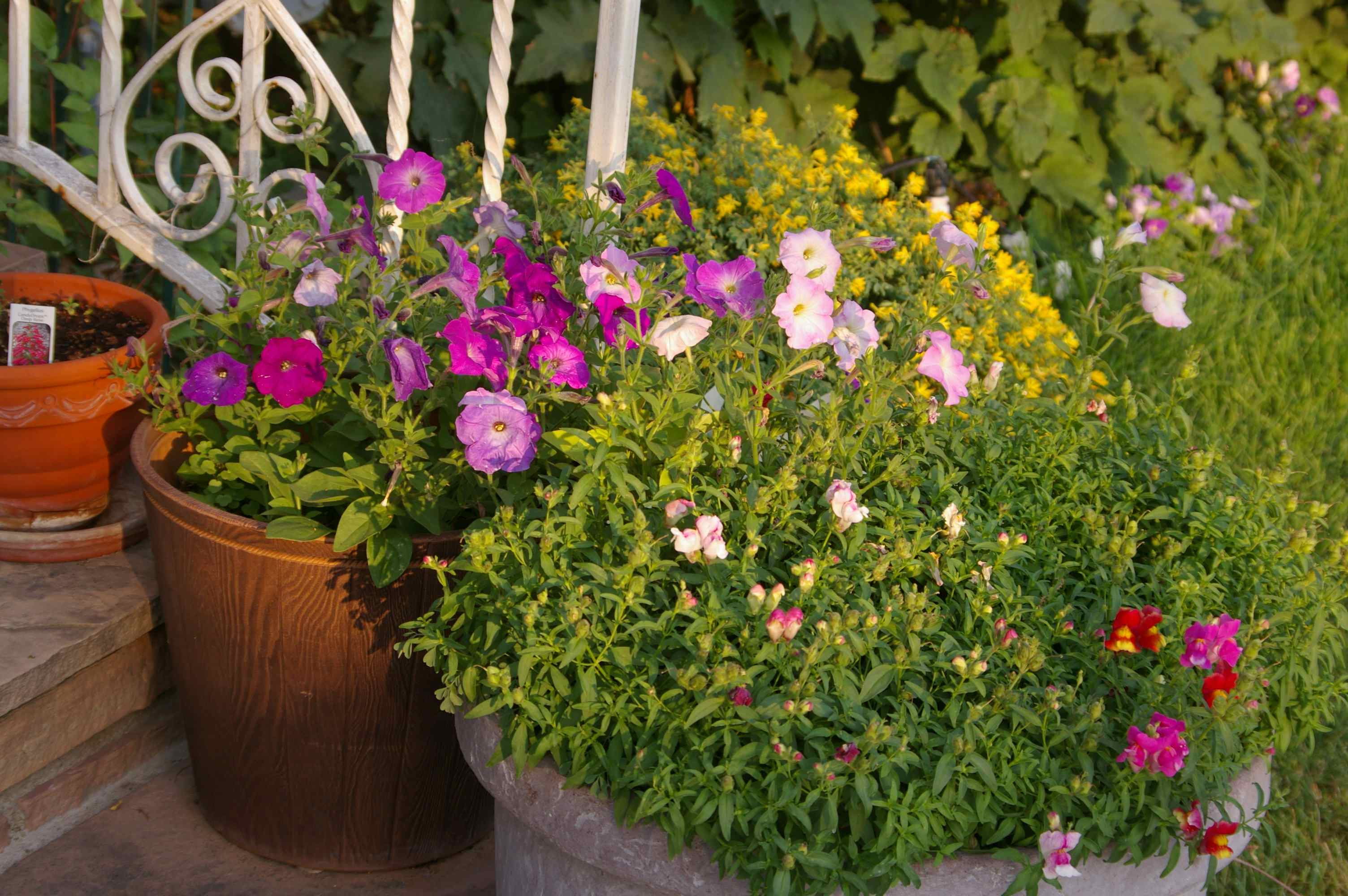Who planted petunias in my front porch pots - Growing petunias pots balconies porches ...