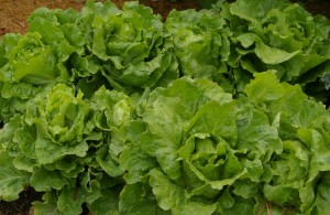 summer crisp lettuce in the garden during the heat of August in SW Idaho