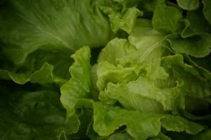 Nevada summer crisp lettuce succulent in scorching August