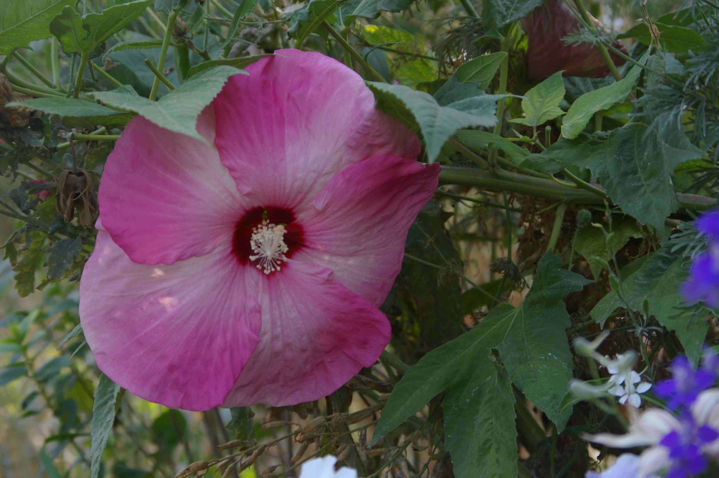 pink dinner plate hibiscus flower in mid August in Idaho & Dinner Plate Hibiscus Adds Refreshing Splash of Pink to SW Idaho ...