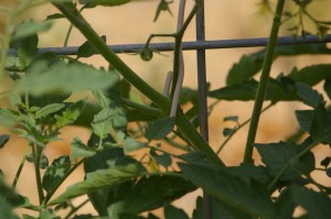 trellis tomatoes with wire at strong stem