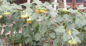 4 foot tall sunflowers for seed harvest