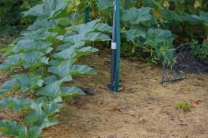 dry grass clipping mulch around pumpkin
