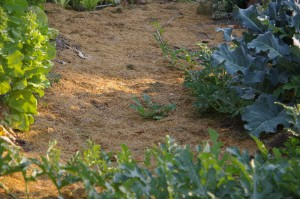 dry grass clippings mulch on the garden path