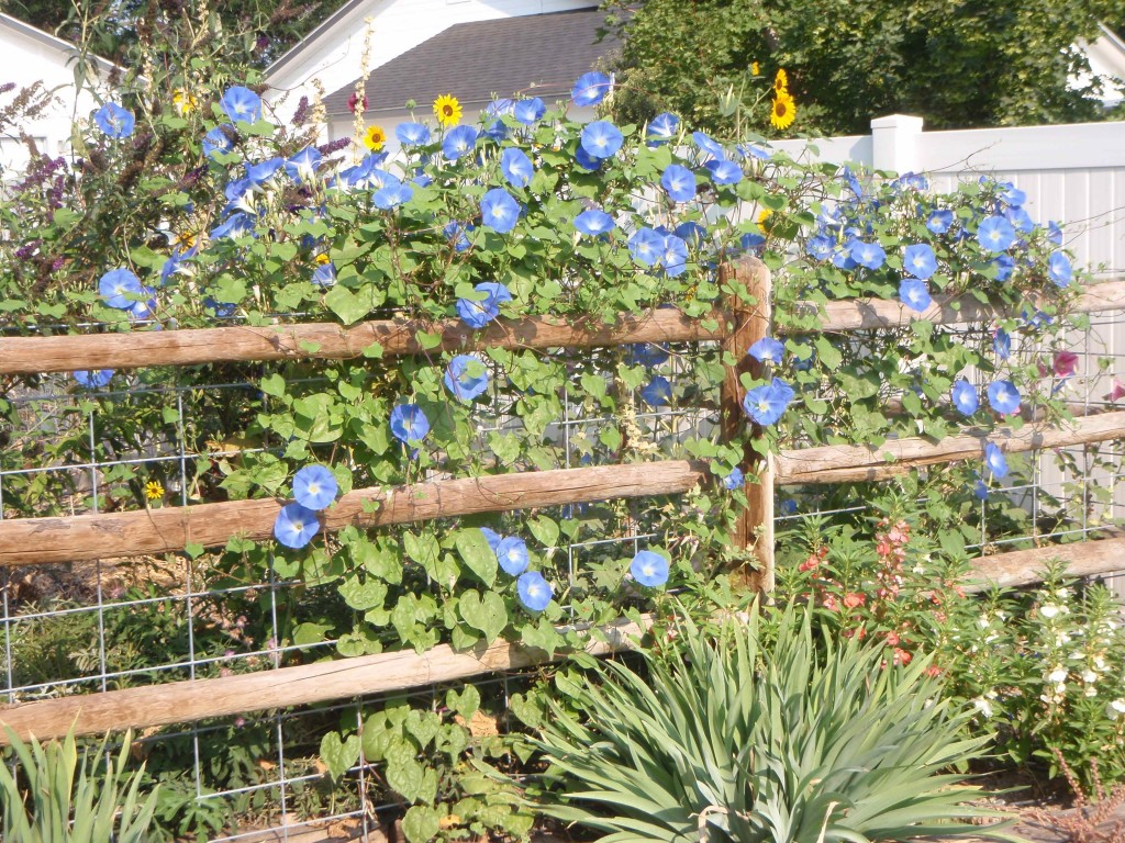 heavenly blue morning glory climbing fence