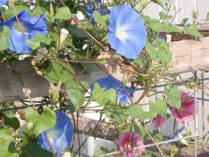 heavenly blue flowers waiting to swirl open, and spent blooms beginning to curl