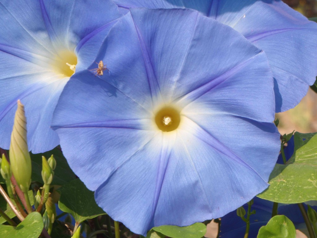 Mr. Spider has a silky lair in his heavenly blue morning glory flower