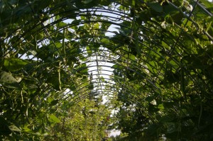 green pole beans hang in arched trellis for easy picking