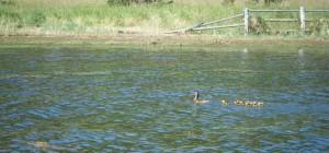 ducks handle ripples on Lake Cascade, Idaho