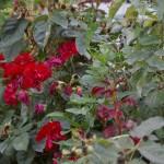 bind weed tangled with red floribunda roses