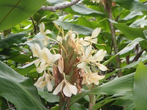On the way to Twin Falls in Maui, another ginger flower