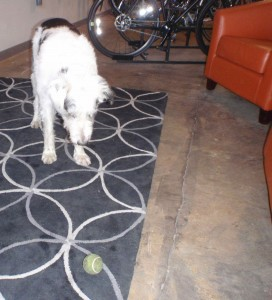Bandit, a Rolling H Cycles shop dog, brings me the ball again