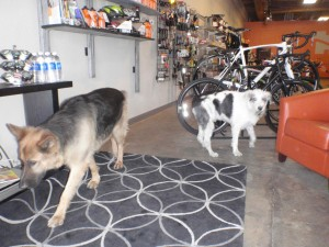 Buddy the German Shepherd making a round to say hello at Rolling H Cycles