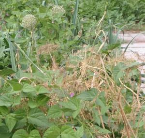 black tepary bean plants
