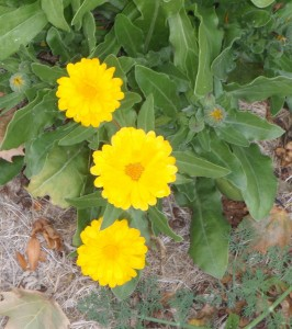 calendula after the frost
