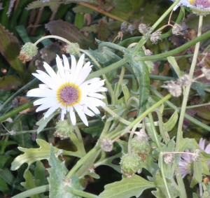 African daisy with purple center flowering mid October