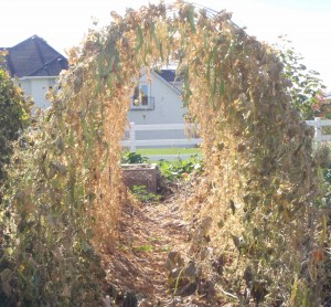 """neglected pole beans <a href=""""http://dailyimprovisations.com/simple-arched-trellis-for-grapes-or-pole-beans/"""" target=""""_blank"""">on trellis</a>with seed drying"""