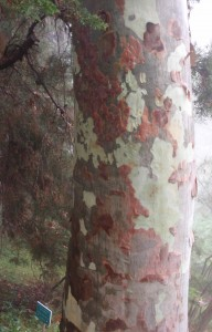 probably a Eucalyptus tree, judging from the aroma