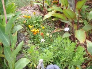 gazanias, African daisy, and canna lilies