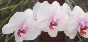 white orchid with pinkish purple center