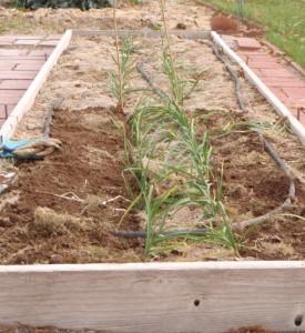garlic from the garden nursery versus garlic that was previously neglected