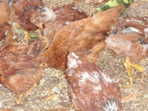 busy Rhode Island Red chickens