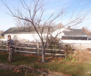pre-pruning evaluation of neglected plum tree