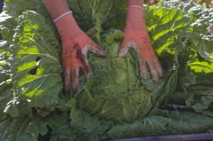 head of huge Chinese cabbage in garden