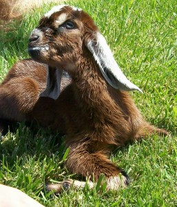 recently born goat kid