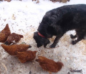 guard dog in training hangs out during the chickens morning meal