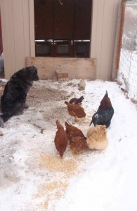 guard dog in training not allowed to move while she watches the chickens