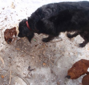 chicken guard dog in training sniffs chicken as it eats