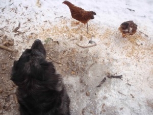 Kiwi standing obediently by when called after old chicken flies in her face
