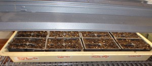 peppers germinating under greenhouse grow lights