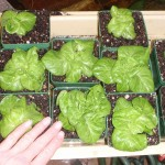 my Tom Thumb lettuce a few days ago
