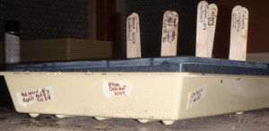 low budget masking tape to label seeds sprouting in tray