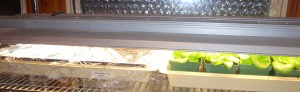 a home gardener's greenhouse lettuce in progress