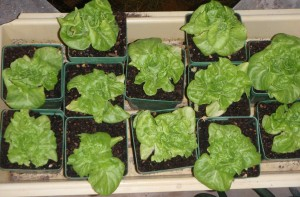 greenhouse lettuce growing back after surviving taco frenzy