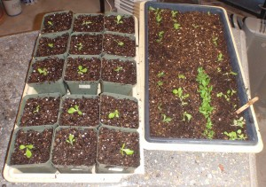 one tray of transplanted lettuce next to the tray used for the germination test