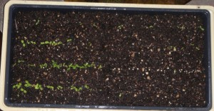lettuce seed germination test after about 2 weeks