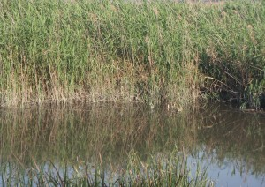 reeds growing in a large riverside
